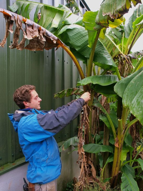 How To Care For Banana Trees Burncoose Nurseries Banana Plant Indoor Banana Plant Care Banana Tree