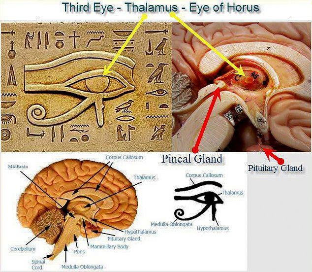 Location Of The 3rd Eye Pineal Gland God Number Pinterest