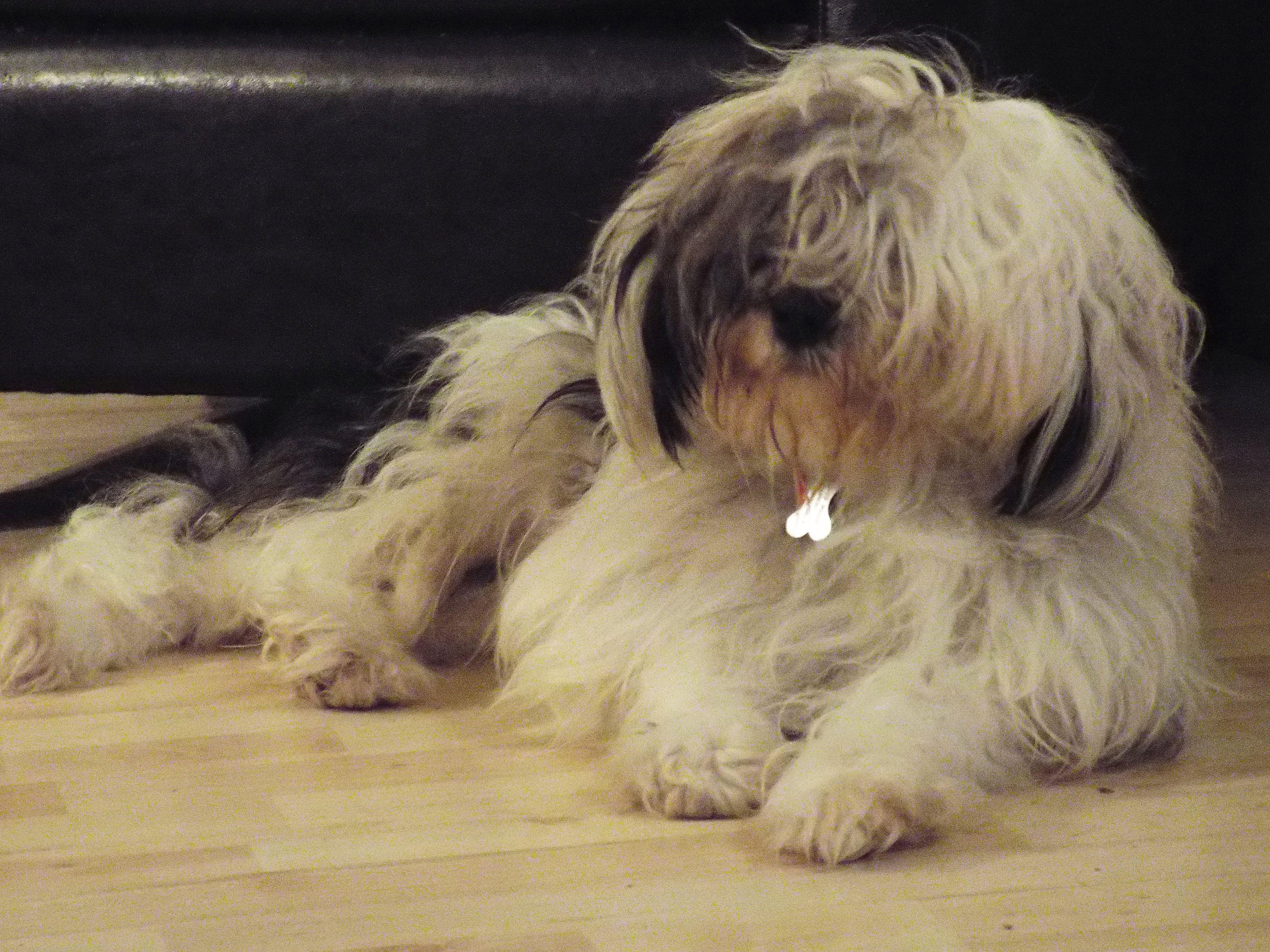 Pin By Nick Alberico On Special Dogs Cats Etc Tibetan Terrier Terrier Dogs