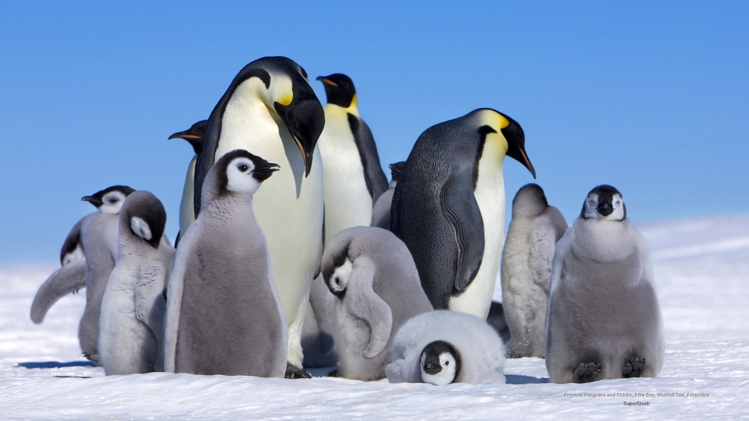 cute penguin wallpapers full hd with high resolution wallpaper