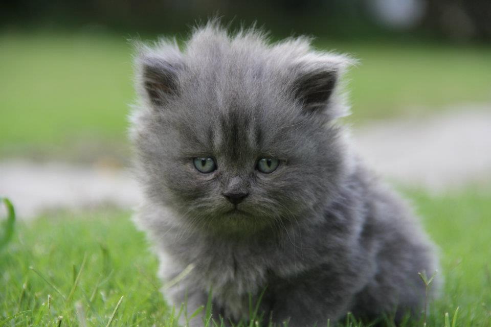 persian kittens Ladies Korner Grey persian kittens for