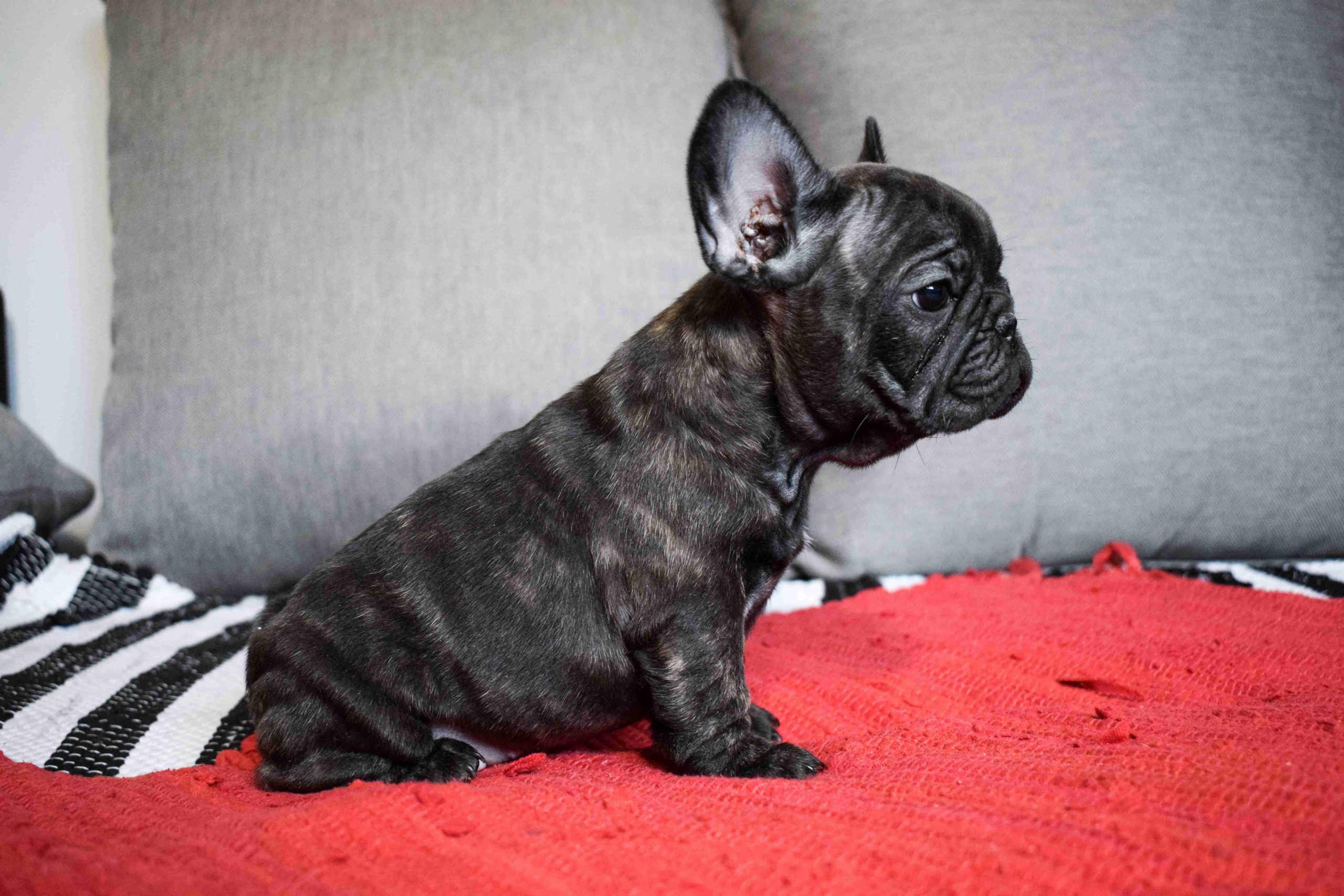 Tommy Castillo Blanco Kennel French Bulldog Puppies French