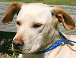 Sonny Is An Adoptable Labrador Retriever Dog In Chipley Fl Sonny Is A 2 To 3 Year Old Male Lab Cross Labrador Retriever Retriever Dog Labrador Retriever Dog