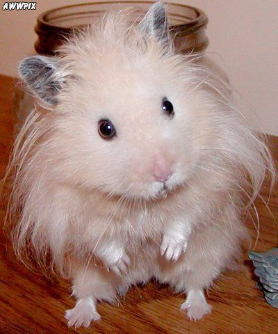 Information About Winter White Dwarf Hamster Care And Facts With