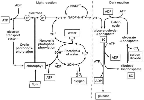 Photosynthesis Diagrams Worksheet Sharebrowse – Photosynthesis Diagram Worksheet Answers