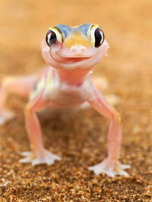 The web footed Gecko.  I think that is the cutest face I've ever seen on a Gecko, don't you?