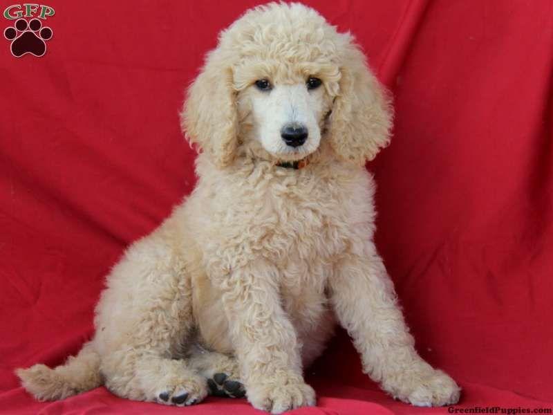 Skylar Standard Poodle Puppy For Sale From Ephrata Pa Poodle