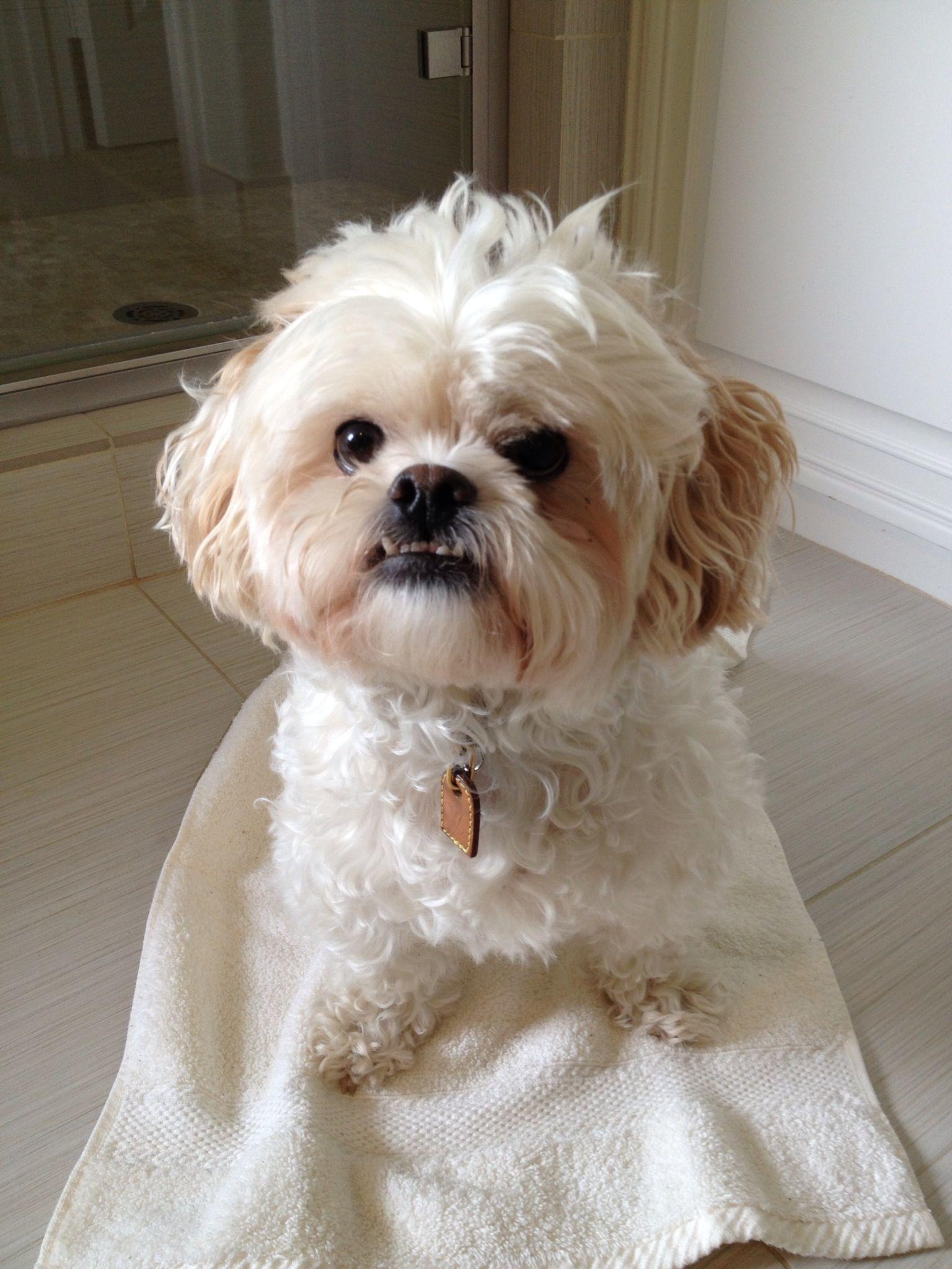 Oliver The Peekapoo Beautiful Dog Breeds Poodle Mix Dogs Peek