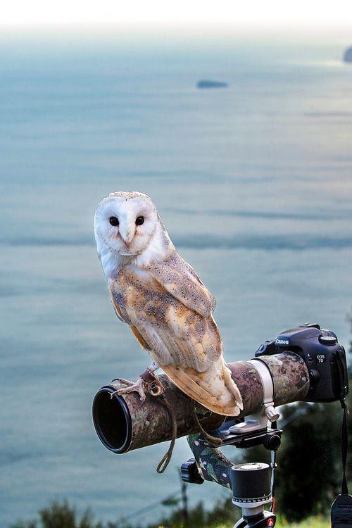 Atraversso Stealing The Scene By Rino Di Noto Animals Barn Owl
