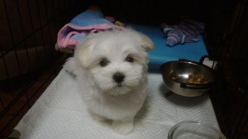 Maltese Puppy For Sale In Fort Worth Tx Adn 42584 On Puppyfinder