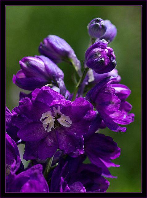 a world of purple flowers group pinterest strau e baum und pflanzen. Black Bedroom Furniture Sets. Home Design Ideas
