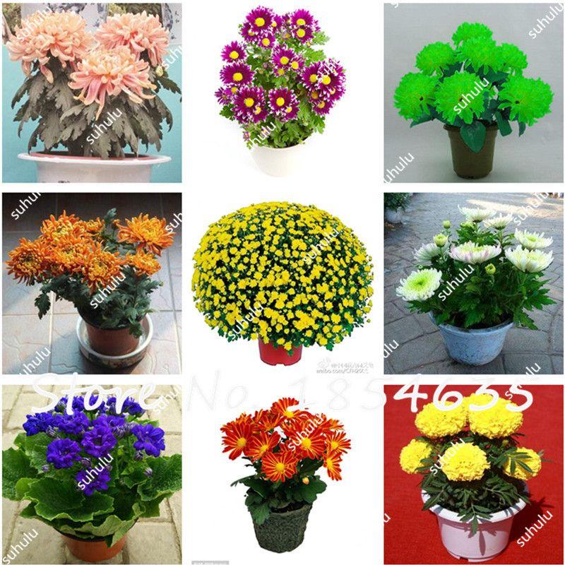 50pcs Chrysanthemum Flower Seeds Ornamental Bonsai Perennial Flowers Garden The Budding Rate 97 Semillas De Plantas De Flores Garden Supplies Plants Garden