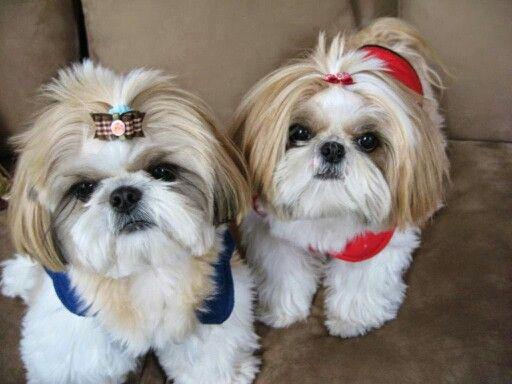 Pinned By Sherry Decker Shih Tzu Dog Shih Tzu Shih Tzu Puppy