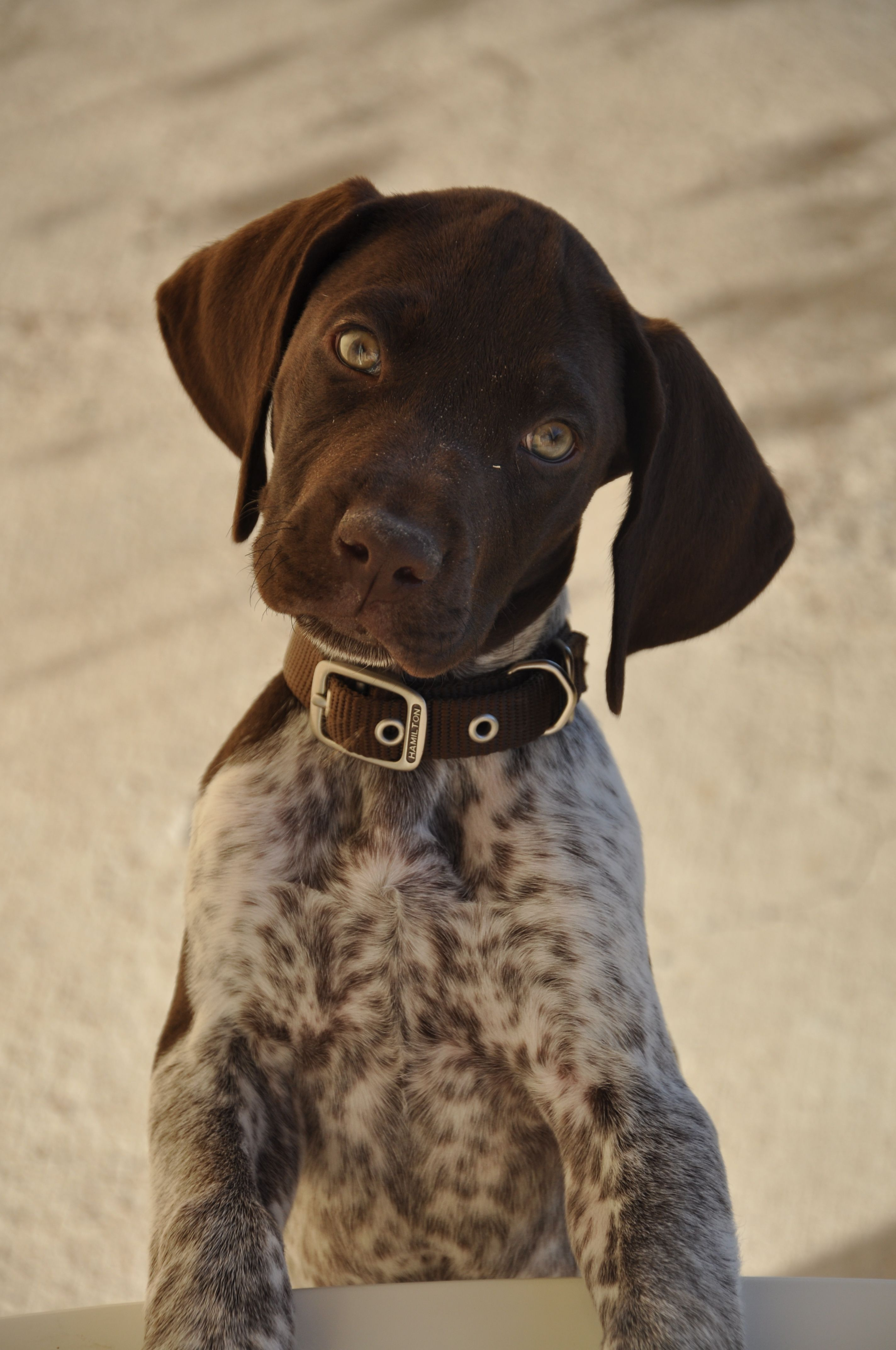 German Shorthaired Pointer. Chango listening closely ...
