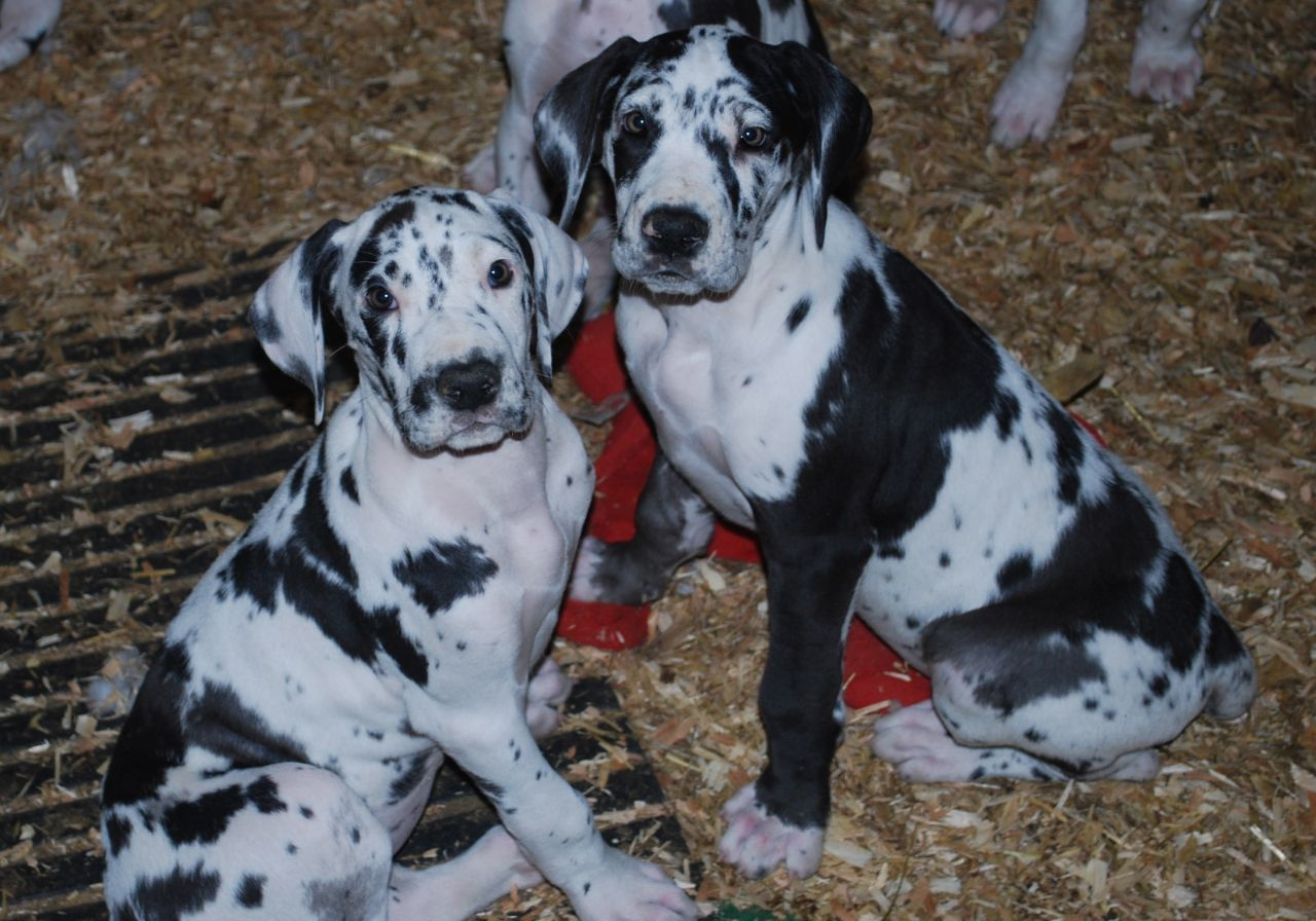 Harlequin Great Dane Puppies Harlequin Great Dane Puppy Great