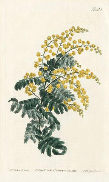MIMOSA - William Curtis Botanical Prints 1787-1826