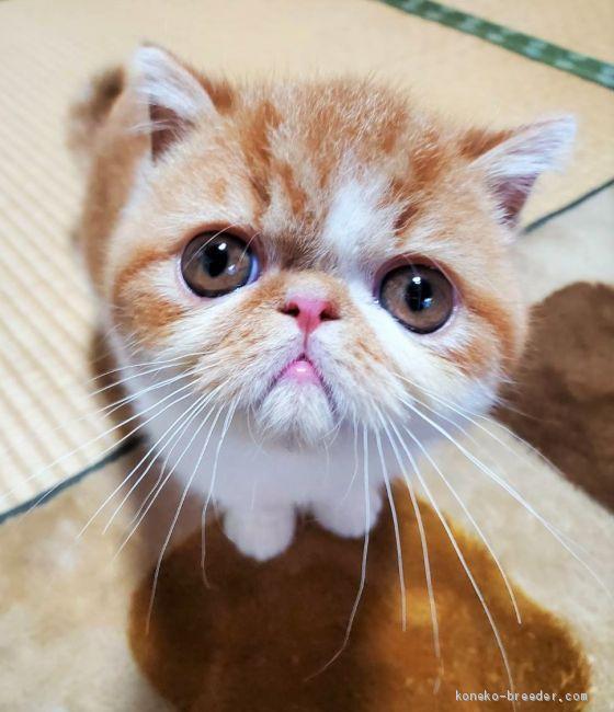 エキゾチックショートヘア 神奈川県 男の子 2020年8月31日 レッドマッカレルタビー ホワイト 性格が最高 他の猫ちゃんとも仲良くできるます みんなの子猫ブリーダー 子猫id 2012 00650 子猫 エキゾチックショートヘア 猫