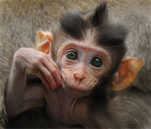 Related image | Monkeys funny, Top 10 cutest animals, Baby ...