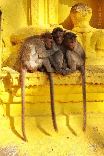 iseo58:  Temple Monkeys, Shivaganga, India by Hari Prasad Nadig