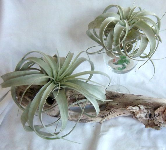 Air Plant Xerographica Tillandsia by RiverRootsRock on Etsy