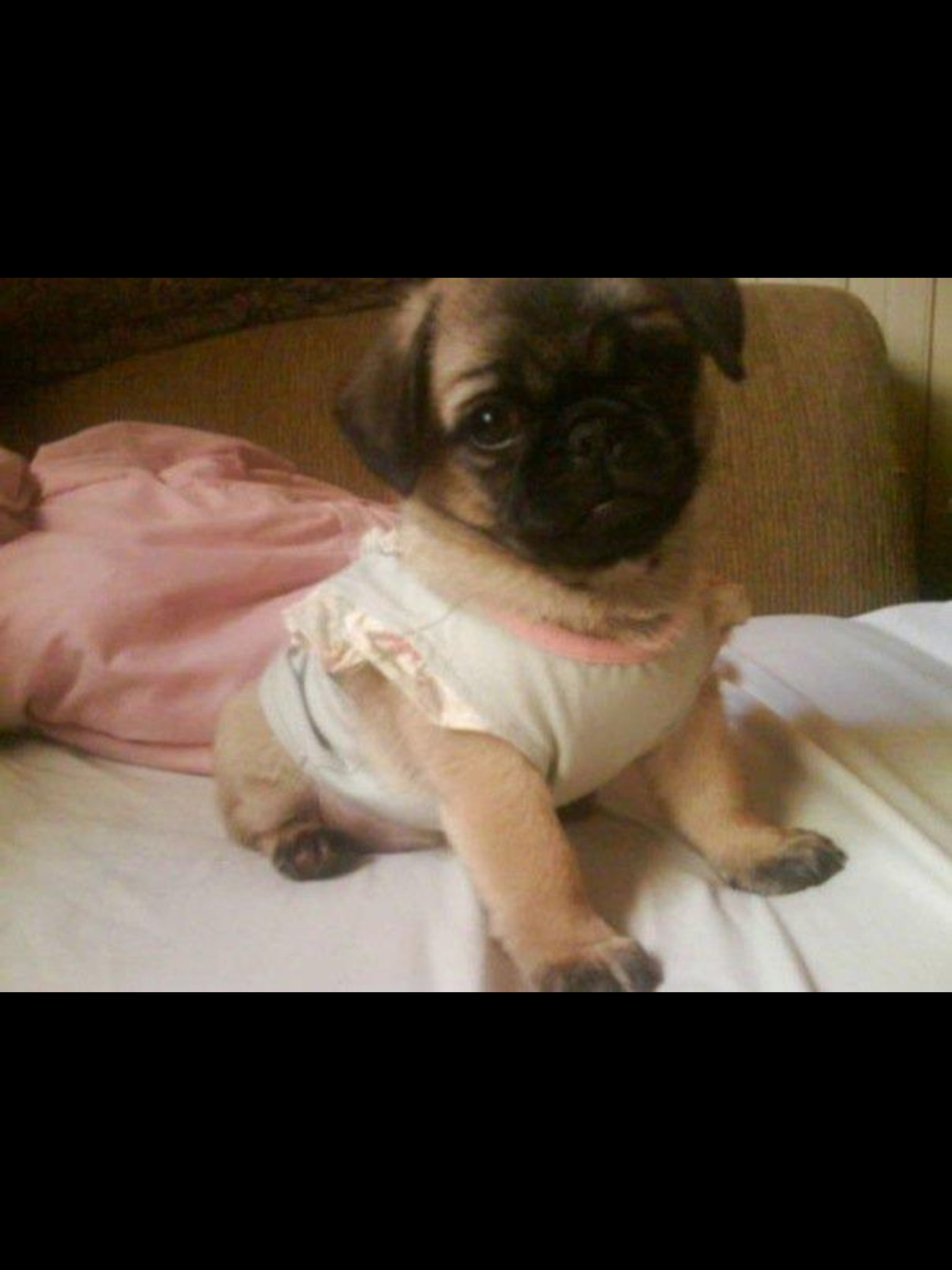 Cutest Pug Pekinese Mix Rooroo The Peekapug Looks Just Like My