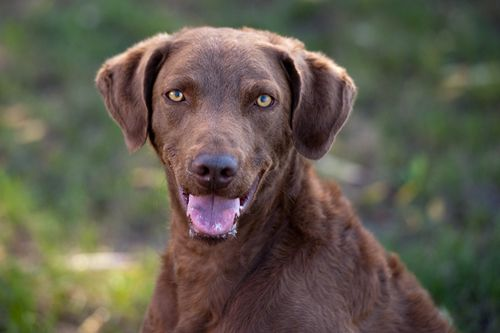 Breeze (Chesapeake Bay Retriever) Dogs From Survivors