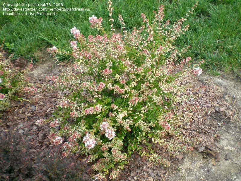 Abelia Grandiflora Mardi Gras Variegated Shrubs Garden