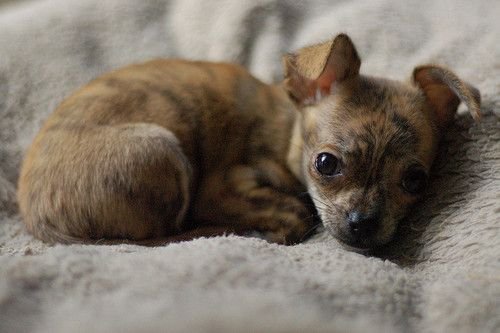 Brindle Chihuahua Puppy I Ve Always Found This Coat Pattern
