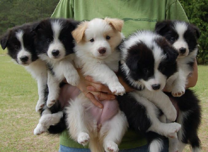12 Signs You Are A Crazy Border Collie Person Collie Puppies For