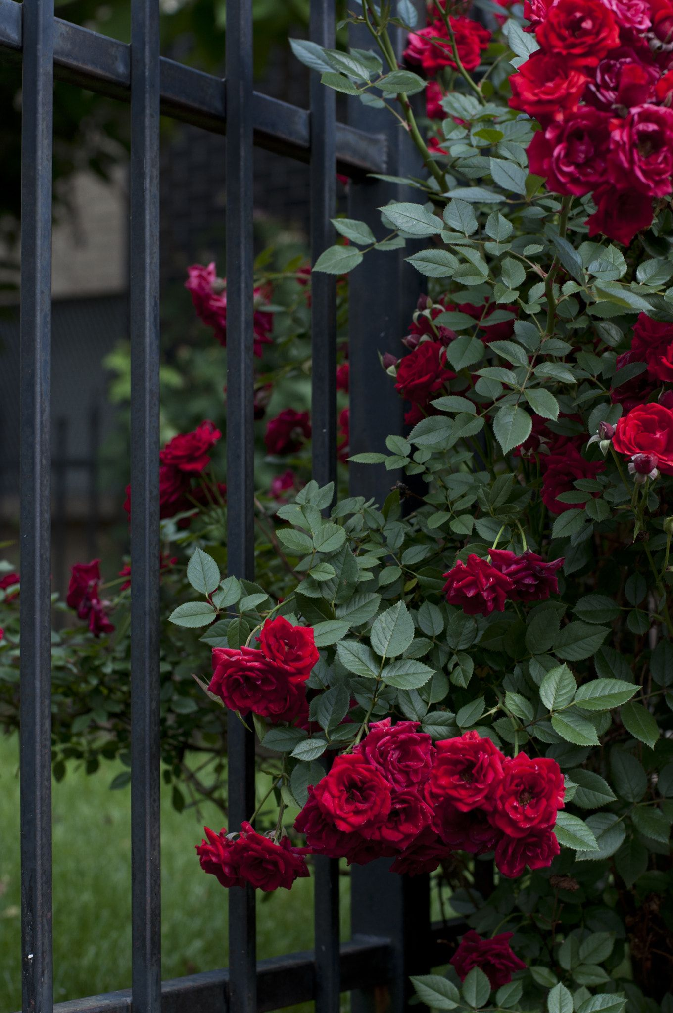 One At A Time Red Roses Growing Against A Metal Fence In Denver Colorado Red Roses Bush Garden Rose