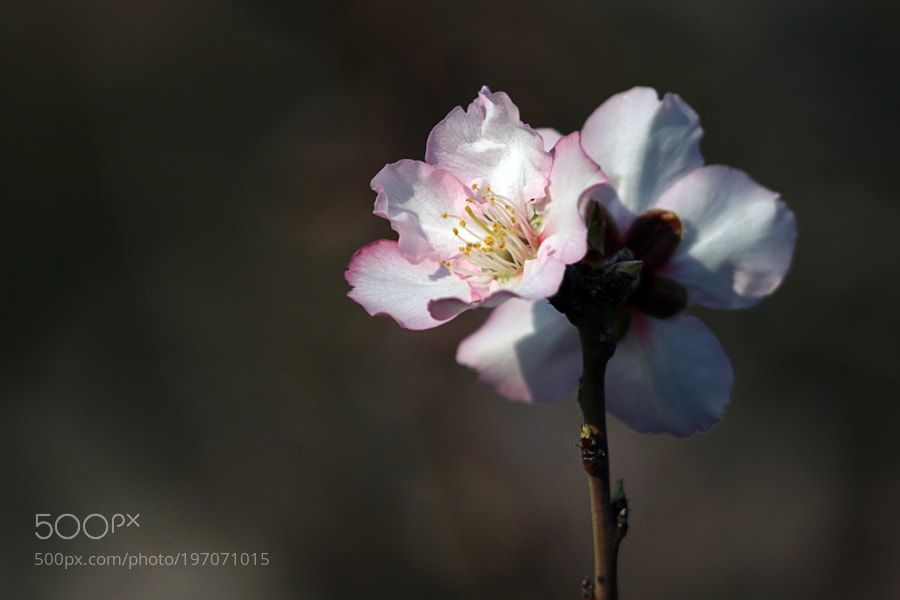 http://ift.tt/2jr6Zkd #Nature_breathtaking #Photos Almond blossom by MichalDe-porto