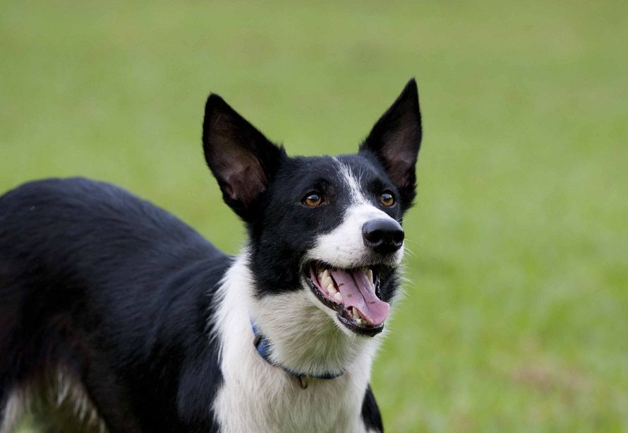 Pin By Victoria L On Doggies Short Haired Border Collie Border Collie Short Haired Dog Breeds