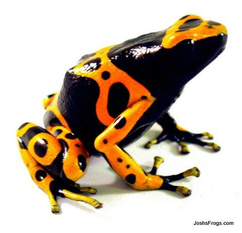 Before You Buy Josh S Frogs How To Guides Frog Species Pet Frogs Dart Frog