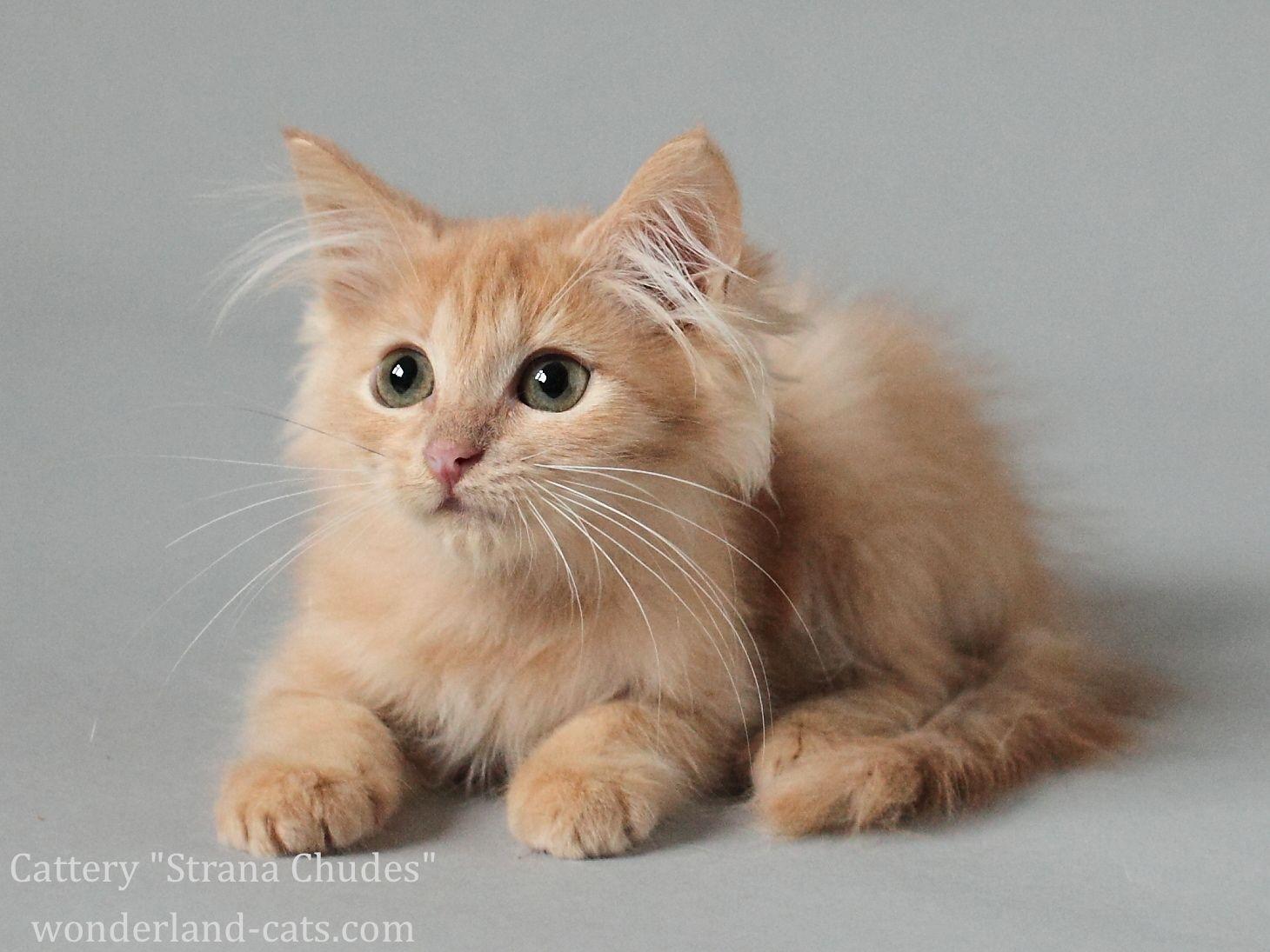 Siberian beautiful, cute, funny kitten cream, green eyes