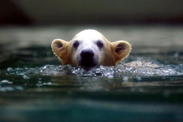Polar bear cub Anori swims in her enclosure at the zoo in Wuppertal, Germany.    Ina Fassbender/Reuters