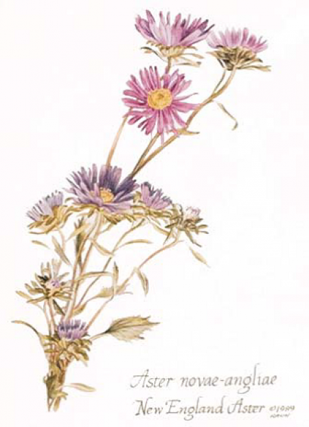 Aster flower september Aster flower, Aster flower