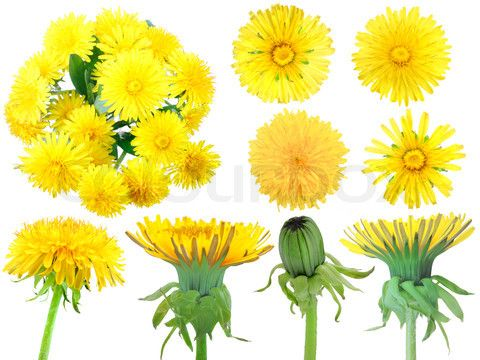 Image Of Set Of Yellow Dandelion Flowers Dandelion Art Flower Painting Dandelion Drawing