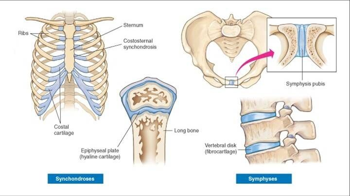 Synchondrosis Anatomy Definition – From wikipedia, the free encyclopedia.
