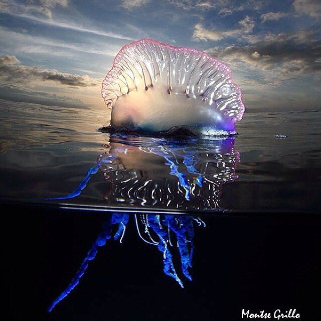 Photo by @montsegrilloThe Atlantic Portuguese man o' war (Physalia physalis), also known as the Man-of-war, bluebottle, or floating terror, is a marine cnidarian of the family Physaliidae. Its venomous tentacles can deliver a painful sting. Despite its outward appearance, the Portuguese man o' war is not a common jellyfish but a siphonophore, which is not actually a single multicellular organism, but a colony of specialized minute individuals called zooids.These zooids are attached to one an...