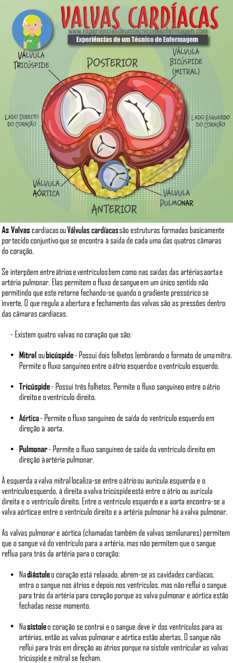 As Valvas (Válvulas) Cardíacas   Radiologia   Pinterest   Medicina ...