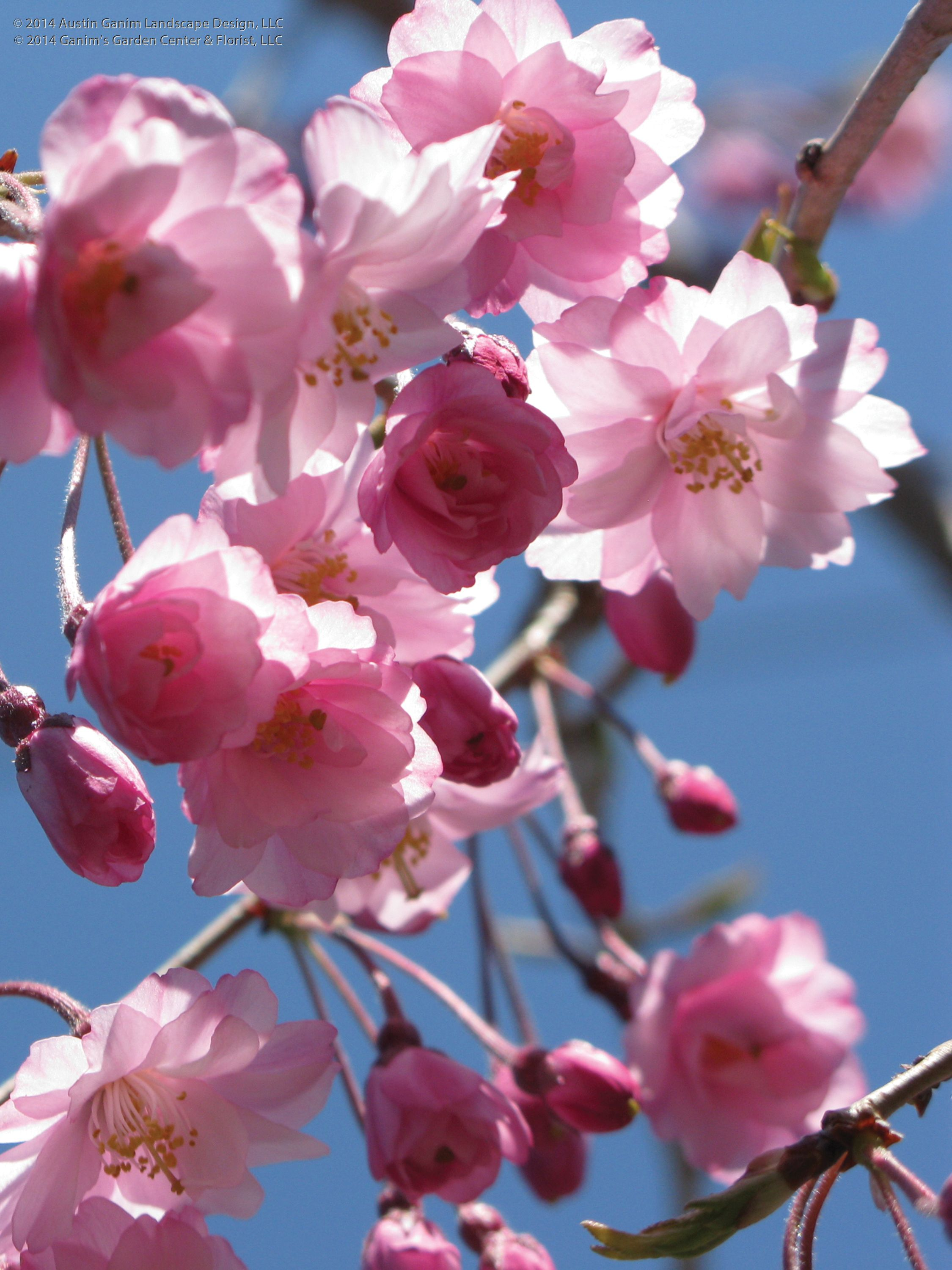 Prunus Serrulata Kwanzan Kwanzan Flowering Cherry These Double Flowering Pale Pink Cherries Flowers Almost Glow In The The April Sunlight Papeis De Parede