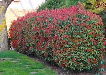 Photinia X Fraseri Robusta Is A Spectacular Fast Growing Dense