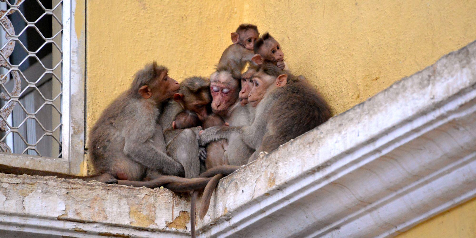 Group of Monkeys, Mysore, bangalore,mysore Photo Gallery