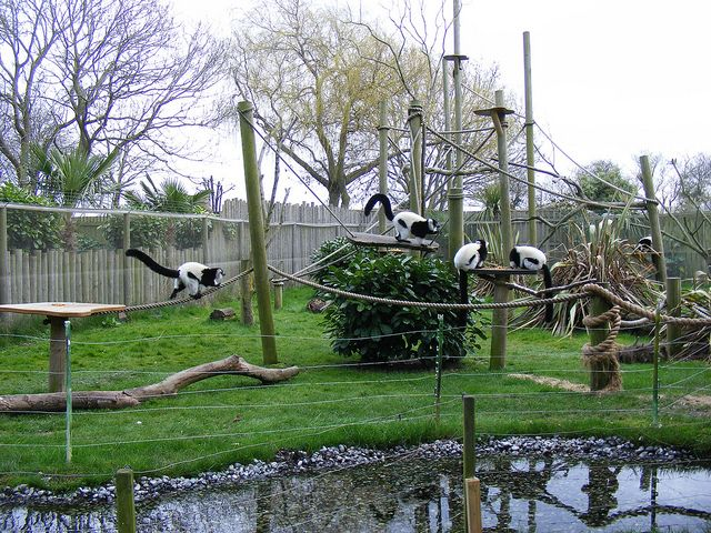 Black And White Ruffed Lemur Enclosure Drusillas Park Zoo Park Zoo Lemur