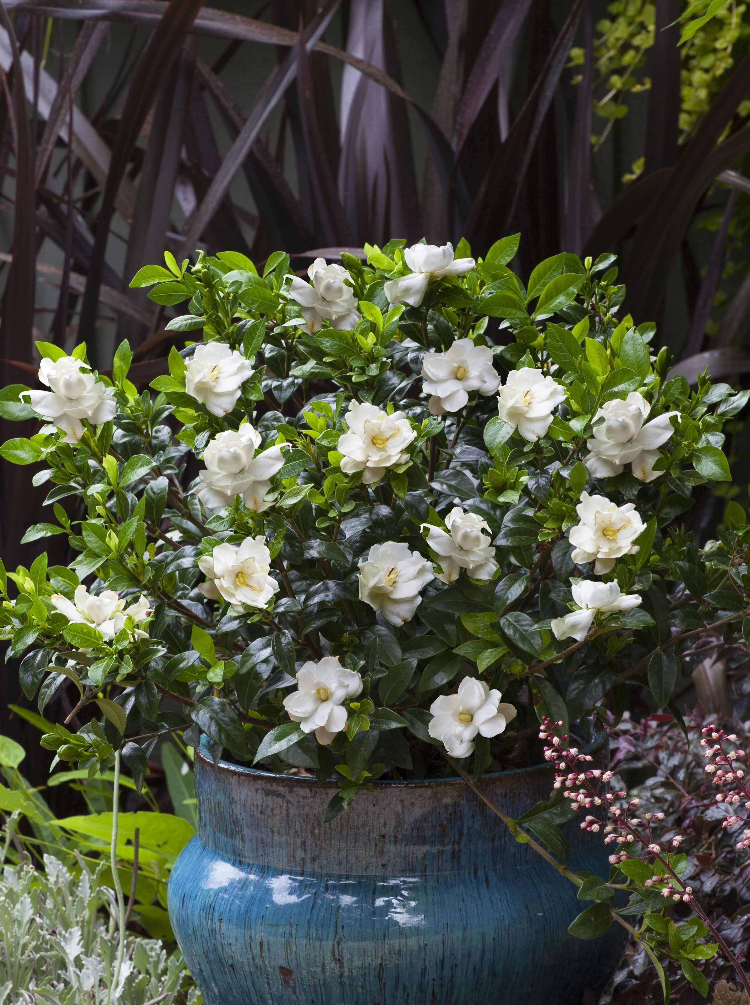 Jubilation Gardenia Shipped To You Shop With Plantsbymail Com Gardenia Plant Fragrant Flowers Container Herb Garden