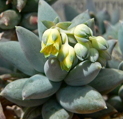 Suculentas y crasas nombres for Nombres de cactus