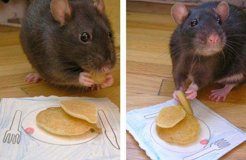 Rat Pancakes Pet Rats Cute Animals