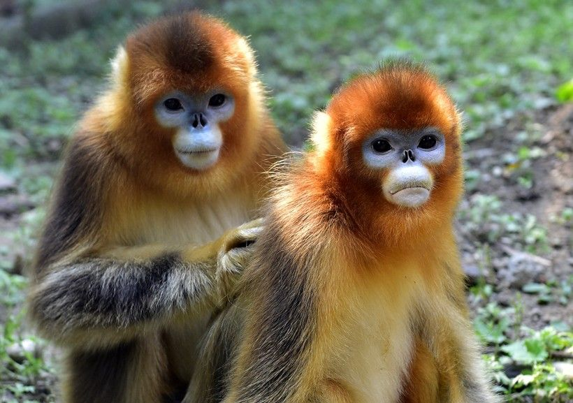 pictures of female golden monkey's | They live in groups of 10-20 members, which is a part of a larger band ...