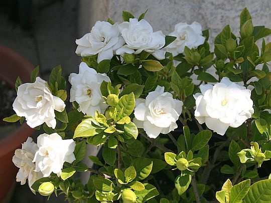 Best 25 Gardenia Bush Ideas On Pinterest Gardenias