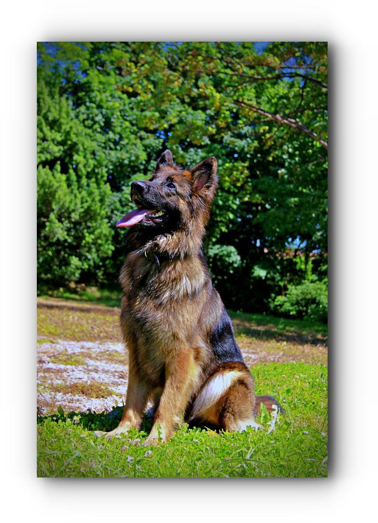 Looking For German Shepherd Adoption Near Me Gsd Dog Breed